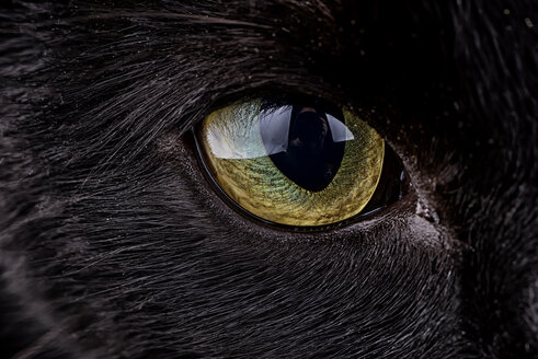 Eye of black cat, Felis silvestris catus - MJOF000091