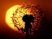 Common Dandelion, Taraxacum officinale, in backlight, close-up - HOHF000788