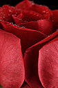 Blossom of red rose, Rosa, with water drops, partial view - MJOF000109