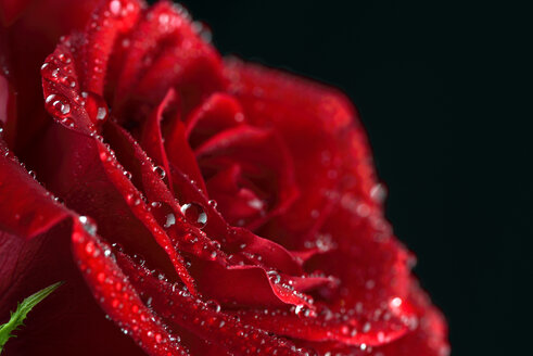 Blossom of red rose, Rosa, with water drops in front of black background, partial view - MJOF000111