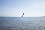 Germany, Mecklenburg-Western Pomerania, Heringsdorf, Seagull, Laridae, flying - MKLF000005