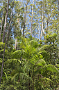 Australia, New South Wales, Mullumbimby, palm trees and eucalyptus trees in the forest at Nightcap National Park - SHF001276