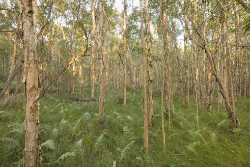 Australia, New South Wales, Pottsville, fern plants and broad-leaved paperbarks, Melaleuca - SHF001278
