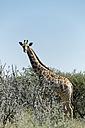 Namibia, Etosha National Park, Giraffe - HLF000519