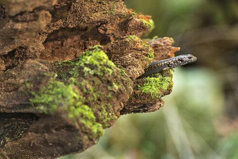 Australia, New South Wales, Dorrigo, skink, Scincidae, sitting on dead wood - SHF001298