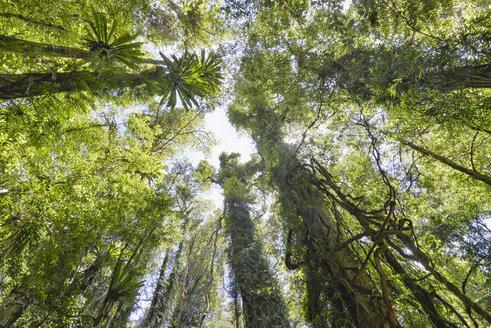 Australia, New South Wales, Dorrigo, climber in the rainforest in the Dorrigo National Park - SHF001307