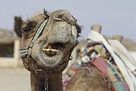 Egypt, Hurghada, portrait of chewing  dromedary camel, Camelus dromedarius - STDF000111