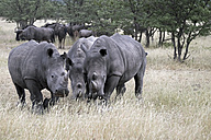 Africa, Namibia, Etosha Natioal Park, Wide-mouthed rhinoceroses, Ceratotherium simum, in the foreground and blue wildebeests, Connochaetes taurinus, in the background - HLF000522