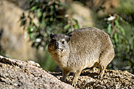 Africa, Namibia, Erongo Moutains, Rock dassie, Procavia capensis, standing - HLF000528