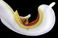 Petal of white lily, Lilium, with pollen in front of black background, close-up - MJOF000140