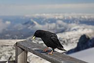 Austria, Styria, Ramsau am Dachstein, Dachstein Mountains, Alpine chough, Pyrrhocorax graculus - GFF000476