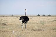Africa, Namibia, Etosha National Park, African Ostriches, Struthio camelus - HLF000543