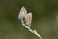 Germany, Brown argus butterfly, Aricia agestis, sitting on plant - MJOF000175