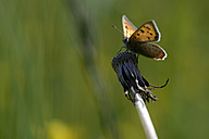 Germany, Small copper butterfly, Lycaena phlaea, sitting on plant - MJOF000182
