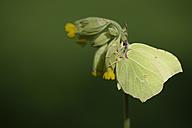 Germany, Brimstone butterfly, Gonepteryx rhamni, sitting on plant - MJOF000185