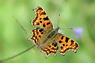 Germany, Comma butterfly, Polygonia c-album, sitting on flower - MJOF000192