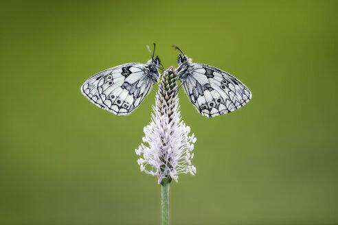 Germany, Marbled white butterfly, Melanargia galathea, sitting on flower - MJOF000231