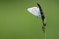 Germany, Common blue butterfly, Polyommatus icarus, sitting on plant - MJOF000233