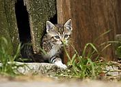 Tabby kitten, Felis silvestris catus, leaving old barn - SLF000426