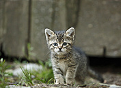Tabby kitten, Felis silvestris catus, with blue eyes - SLF000430