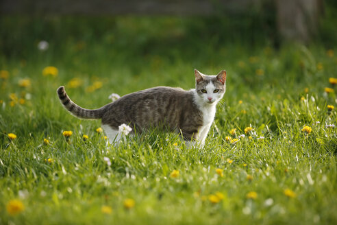 Germany, Baden-Wuerttemberg, Grey white tabby cat, Felis silvestris catus, standing on meadow - SLF000442