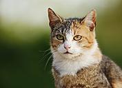 Germany, Baden-Wuerttemberg, Tricolor cat, Felis silvestris catus, Portrait - SLF000446