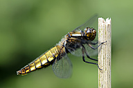 Broad-bodied chaser, Libellula depressa - MJOF000244