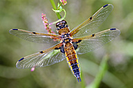 Four-spotted chaser, Libellula quadrimaculata - MJOF000246