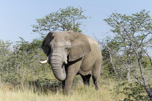 Africa, Namibia, Sossusvlei, Bull Elephant, Loxodonta africana - HLF000556