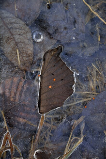 Germany, Bavaria, Dornach, Frozen puddle with leaves - AXF000673