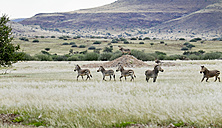 Africa, Namibia, Damaraland, group of zebras at veld - HLF000557