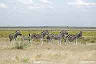 Africa, Namibia, Etosha National Park, row of six zebras at landscape - HLF000559