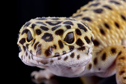 Head of leopard gecko, Eublepharis macularius, in front of black background - MJOF000291
