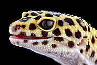 Head of leopard gecko, Eublepharis macularius, in front of black background - MJOF000293