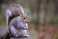 Grey squirrel, Sciurus carolinensis, with feed - MJO000297