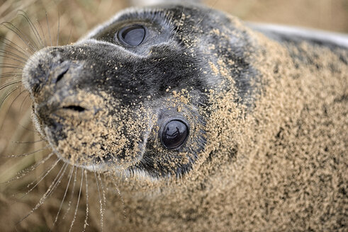 Grey seal, Halichoerus grypus, Portrait, sandy - MJOF000281