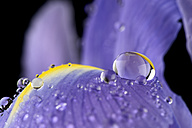 Water drops with reflection on petal of iris, Iridaceae, close-up - MJOF000346