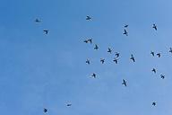 Germany, Mecklenburg-Western Pomerania, Ruegen, Pigeons in the sky - MJF001177