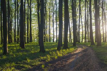 Germany, Mecklenburg-Western Pomerania, Ruegen, Jasmund National Park, Beech forest at sunset - MJF001253