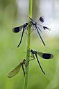 Four banded demoiselles, Calopteryx splendens, hanging on blade - MJOF000347