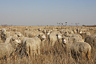 Rumania, Transylvania, Salaj County, flock of sheep, Ovis orientalis aries - GF000483