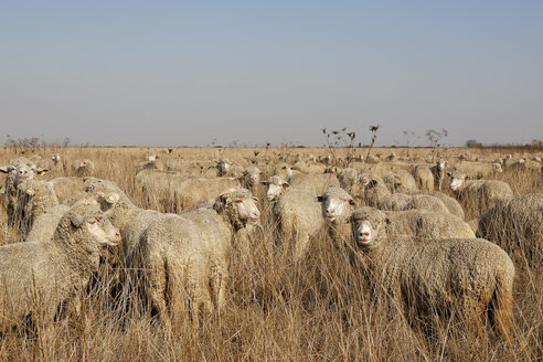 Rumania, Transylvania, Salaj County, flock of sheep, Ovis orientalis aries - GF000483