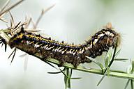 Grub of drinker, Euthrix potatoria, on a twig - MJOF000385
