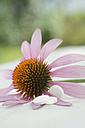 Purple coneflower, Echinacea, and three white tablets - ASF005364