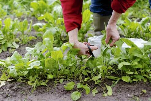Woman harvesting spinach leaves in  vegetable garden, partial view - HAWF000194