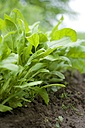 Row of young spinach plants in a vegetable garden - HAW000193