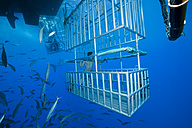 Mexico, Guadalupe, Pacific Ocean, divers in shark cages - FG000005