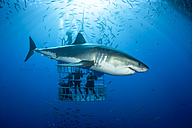 Mexico, Guadalupe, Pacific Ocean, scuba divers in shark cage with white shark, Carcharodon carcharias, in the foreground - FGF000028