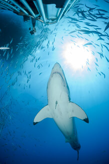 Mexico, Guadalupe, Pacific Ocean, scuba diver in shark cage photographing white shark, Carcharodon carcharias - FG000027