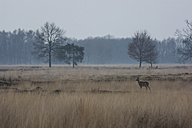 Germany, North Rhine-Westphalia, Luebbecke, landscape with bare trees and roe deer, Capreolus capreolus, at Hiller Moor by twilight - PAF000674